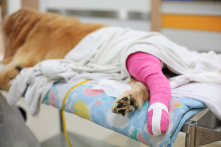 Golden retriever recovering with pink bandage After Veterinary Surgery