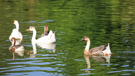 Goose and duck swimming on the pond photo
