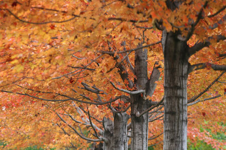 Vibrant Color leaves on trees at golden Autumn in Chicago photo