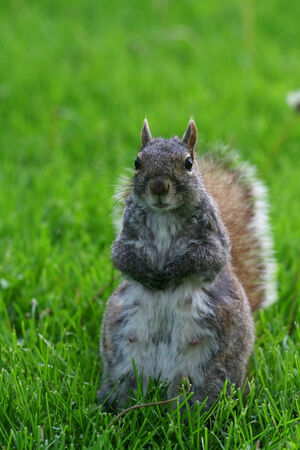 Écureuil debout sur cour sur fond vert