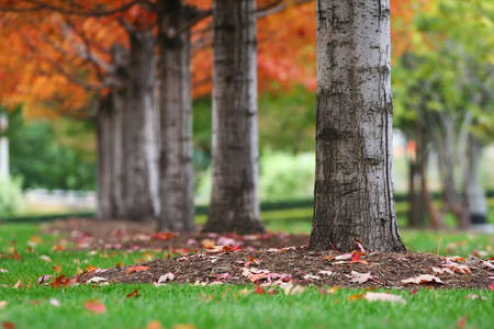 Autumn tree trunks with colorful leaves at Millennium park in Chicago, US photo