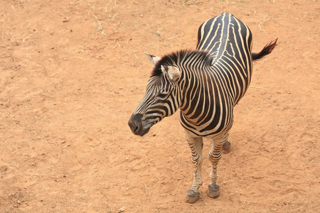 Aerial view of a zebra photo