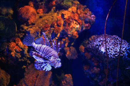 Lion fish rendered by blue light in aquarium