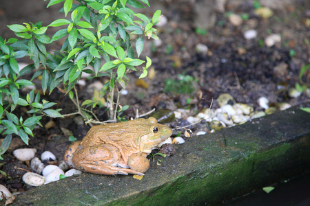 wart: Big brown frog sitting at the park