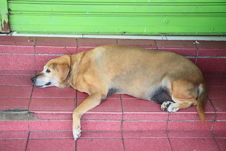 古い犬は、家の前での休息 写真素材