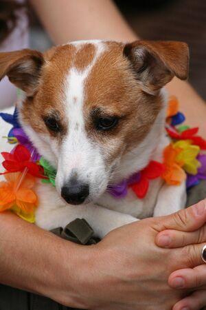 gay parade: Dog with rainbow collar enjoys Chicago gay parade festival
