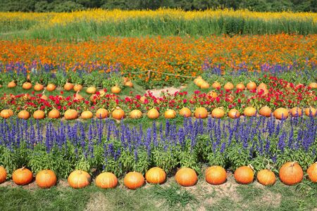 jim: Many pumpkins and variety of flowers at Jim Thomson farm in Korat or Nakhon Ratchasima, Thailand