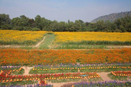 korat: flowers and pumpkins at Jim Thomson farm in Korat, Thailand