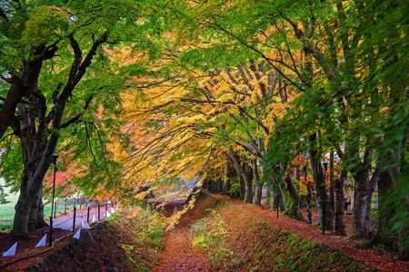 kawaguchi ko: Maple Corridor or Momiji Kairo near Kawaguchi Lake, Japan during autumn Stock Photo