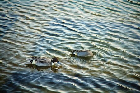 mated: Mallards or ducks in beautiful lake at Arashiyama, Japan