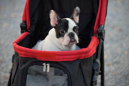 carretilla de mano: Retrato de adorable Bulldog franc�s en el cochecito ot carretilla de mano Foto de archivo