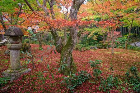 temple tank: Red maple tree on Enkoji temple garden in Kyoto, Japan