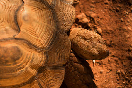 cryptogram: Big Sulcata tortoise, or African spurred tortoise, head from aerial view