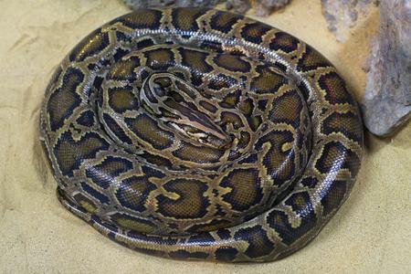 snake head: Boa Snake head and body skin pattern