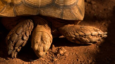 cryptogram: Big Sulcata tortoise or African spurred tortoise on the red dirt