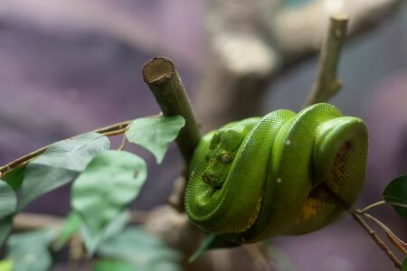 coiled snake: Emerald Tree Boa snake on the tree branch