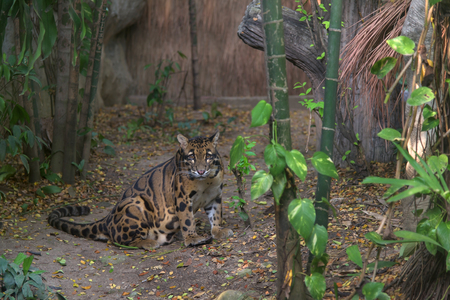 clouded leopard: Clouded Leopard Sitting on the fake forest