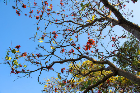 erythrina: red and yellow flowers on Sunshine Tree (Erythrina variegata Linn)