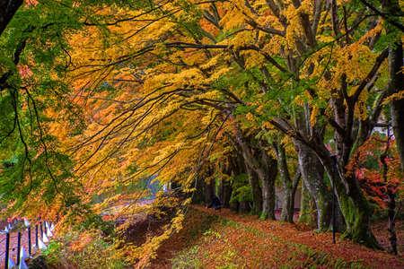 kawaguchi ko: Maple corridor near by lake Kawaguchiko, Japan