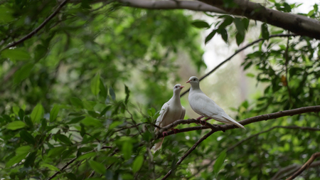 twosome: White pigeon couple stand on the tree