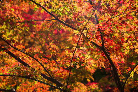 momiji: Momiji, Japanese red maple during autumn season at tofukuji temple in Kyoto, Japan Stock Photo