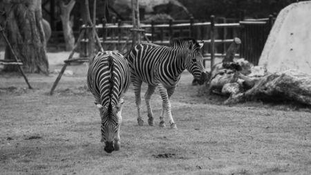 plains: Plains zebra - black and white photo
