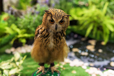 a large bird of prey: Bengal Eagle Owl standing at the  garden