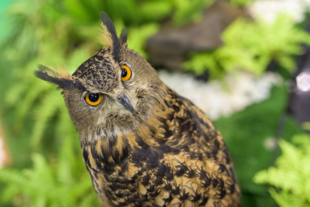 virginianus: Portrait of Great horned owl (Bubo virginianus) with formal garden