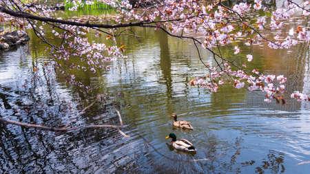 oficina antigua: pareja de pato nadar en el estanque con flor de cerezo o sakura en la Oficina de Gobierno ex Hokkaido, Sapporo