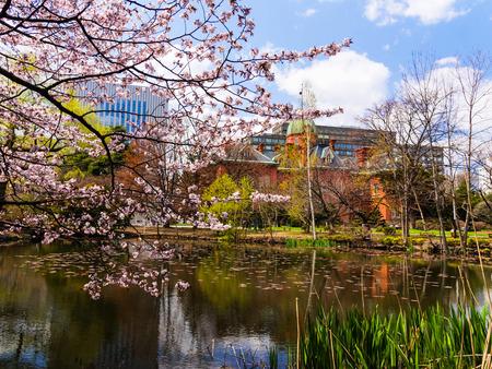 oficina antigua: Cerezo flor de sakura en la Oficina de Gobierno ex Hokkaido en Sapporo, Jap�n