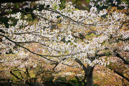 trad: White Cherry Blossom in beautiful Garden in Arashiyama, Kyoto, Japan Stock Photo