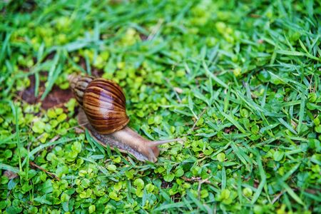slow motion: snail crawling on wet green grass flied