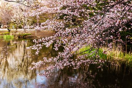 oficina antigua: flor de cerezo cerca del lago en la antigua oficina de Hokkaido en Sapporo, Japón