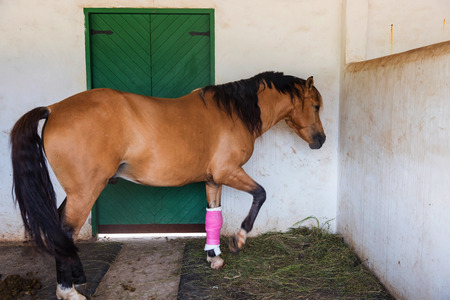 brown horse with bandaged on front injured leg in shelter, selective focus at injured leg
