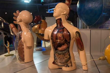 anatomical model: human anatomical model, biology science for education