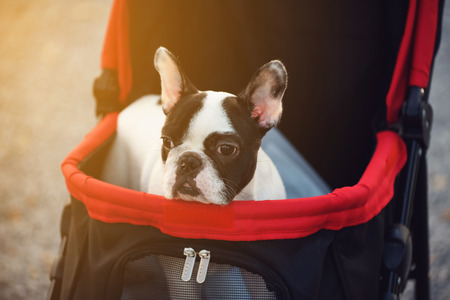 pushcart: Portrait of Adorable French Bulldog on the pushcart ot stroller with sunset light Stock Photo