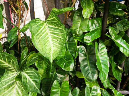 leaves of devils ivy or golden pothos on fence Stock Photo