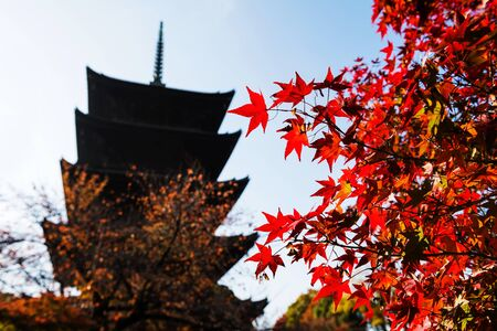 Autumn Red maple with Toji temple background in Kyoto, Japan.