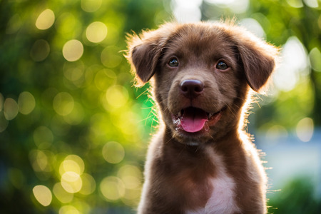 Portrait of brown cute puppy with sunset bokeh background