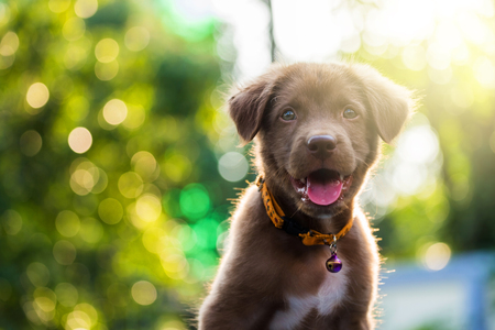 Brown labrador retriever puppy dog in the yard against bokeh background and sunset light