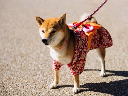 Young Shiba Inu Puppy Dog with cute Traditional Japanese dress Stock Photo