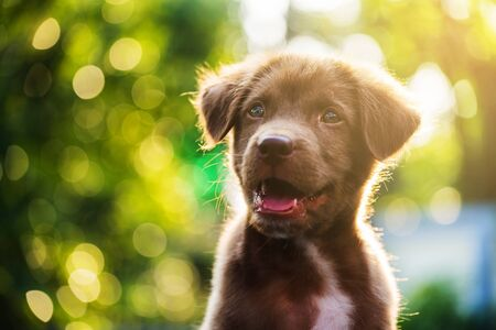 Brown adorable labrador retriever puppy dog head shot portrait, looking at the camera, against sunset light and bokeh yard background 免版税图像
