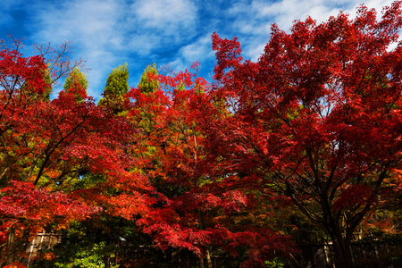 Red maple foliage, Momiji, with blue sky in autumn season, Kyoto, Japan