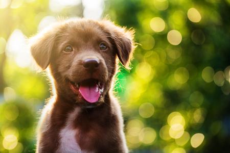 Portrait of Cute Brown nova scotia duck tolling retriever puppy dog against bokeh background