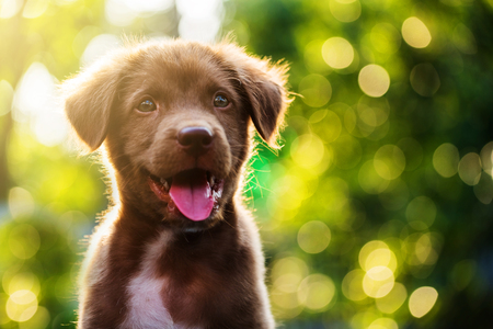 Portrait of Cute Brown nova scotia duck tolling retriever puppy dog against bokeh background