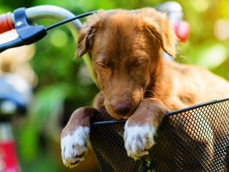Brown puppy in bicycle basket with sunset light