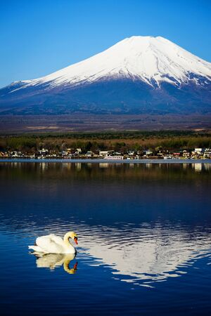 White swan on Yamanaka lake with Mt. Fuji view, Yamanashi, Japan. Vertical photo for wallpaper