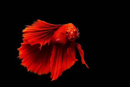 red thai siamese betta fighting fish look at camera with full body isolated on black background Stock Photo