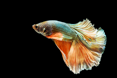 Green and orange Thai betta fish, siamese fighting fish isolated with black background Stock Photo