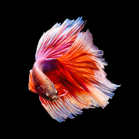 Red and white siamese fighting fish Half moon shape isolated on black background Stock Photo
